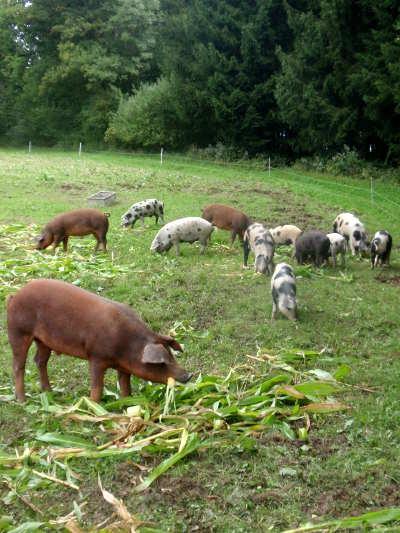 schwein ist bersch